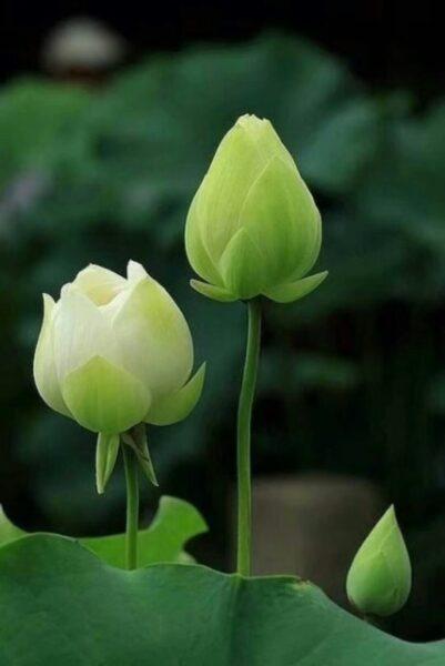 hình ảnh bông hoa sen xanh đẹp nhất làm hình nền điện thoại