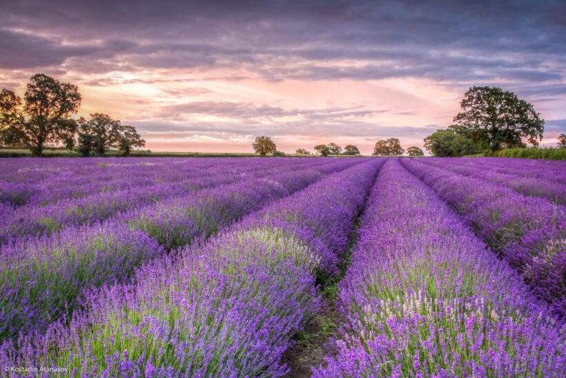 Hình ảnh cánh đồng hoa lavender đẹp ngỡ ngàng
