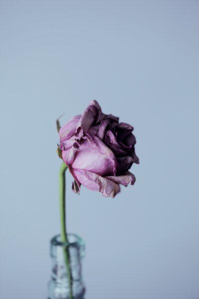 Hình ảnh hoa hồng tím héo buồn