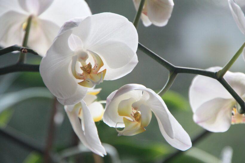 Hình ảnh hoa lan hồ điệp màu trắng