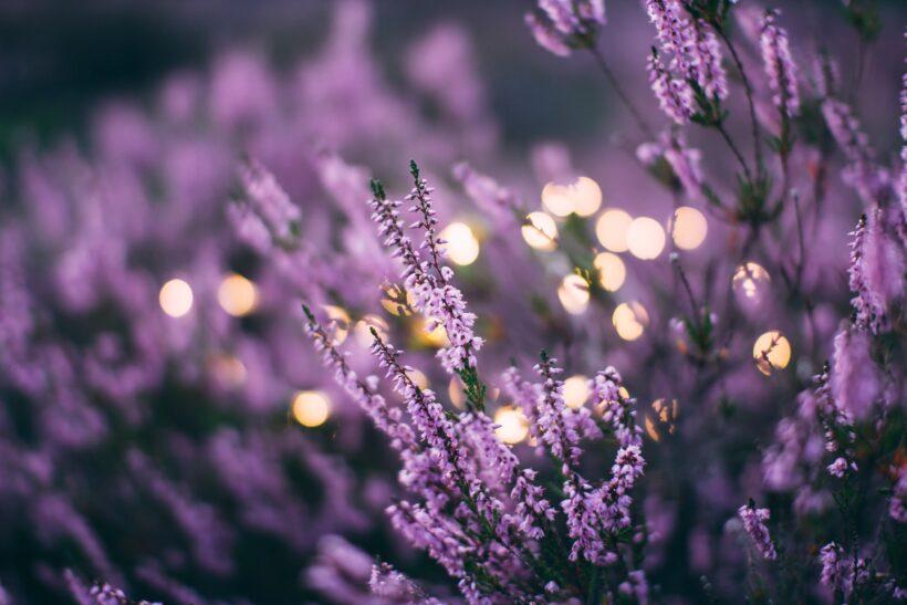 Hình ảnh hoa lavender lung linh
