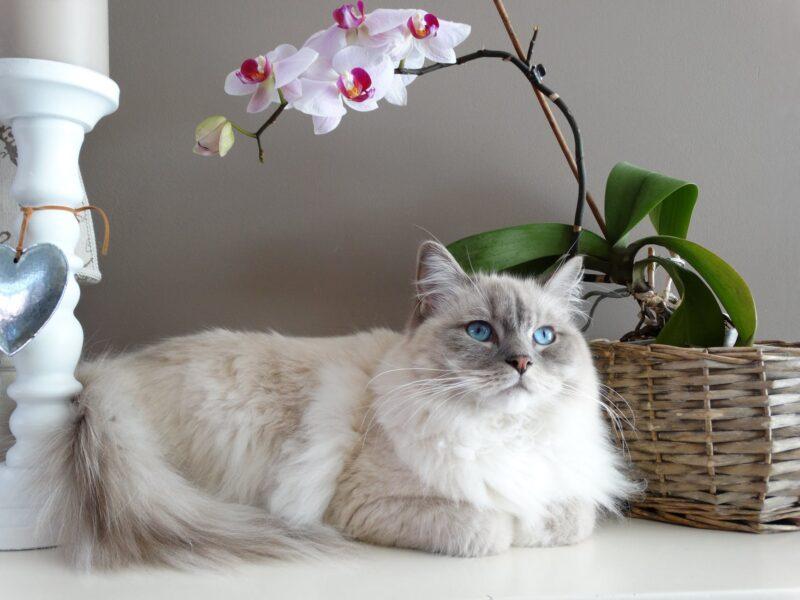 Hình ảnh hoa phong lan bên con mèo trắng