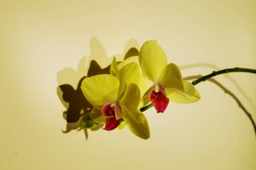 Hình ảnh hoa phong lan màu vàng