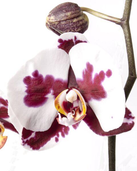 Hình ảnh hoa phong lan quý