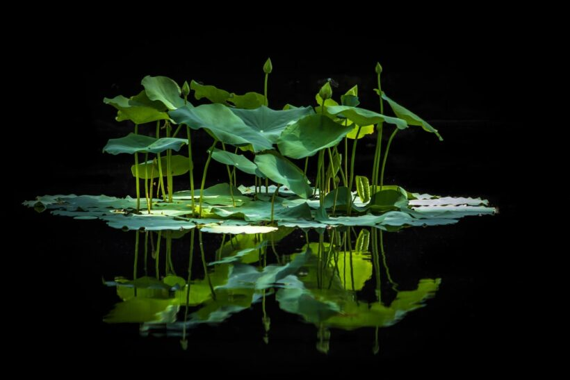 Hình ảnh hoa sen xanh phản chiếu trên mặt nước