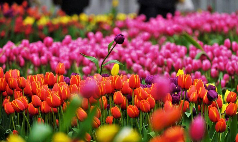 Hình ảnh hoa tulip đầy sắc màu