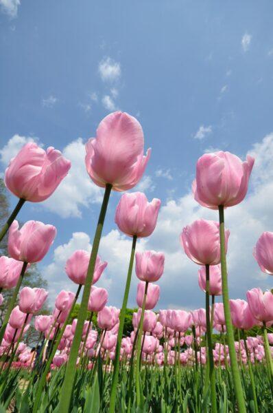 Hình ảnh hoa tulip hồng đẹp nhẹ nhàng