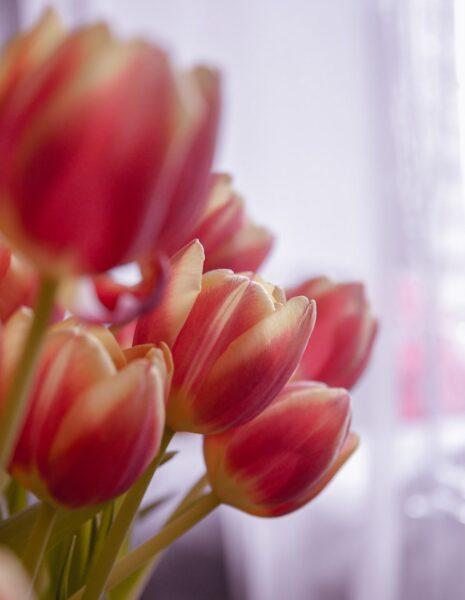 Hình ảnh hoa Tulip mơ màng