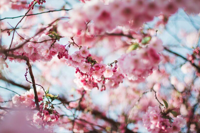 Hình ảnh tuyệt đẹp của hoa đào ngày tết