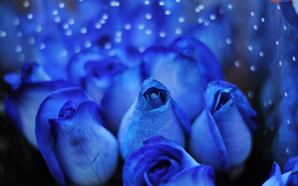 hình ảnh ý nghĩa hoa hồng xanh