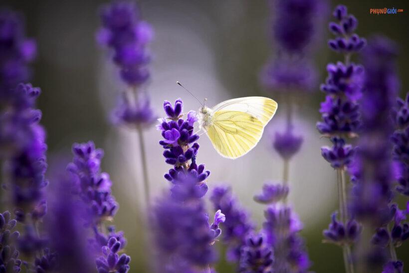 hình ảnh ý nghĩa hoa lavender oải hương