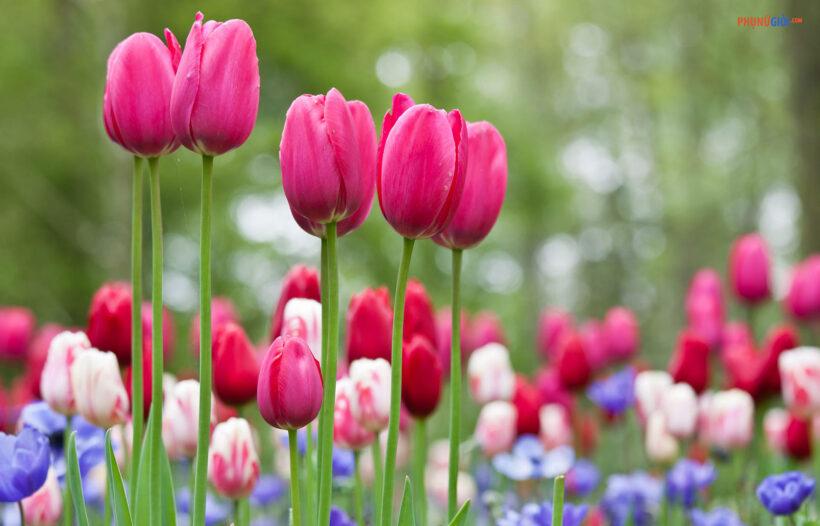 hình ảnh ý nghĩa hoa tulip