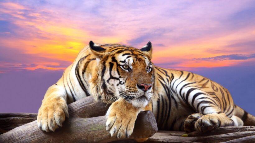 hình con hổ nằm oai vệ