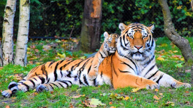 hình nền 2 con hổ