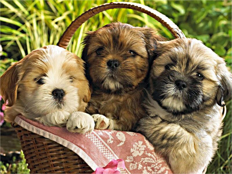 hình nền ba con chó dễ thương