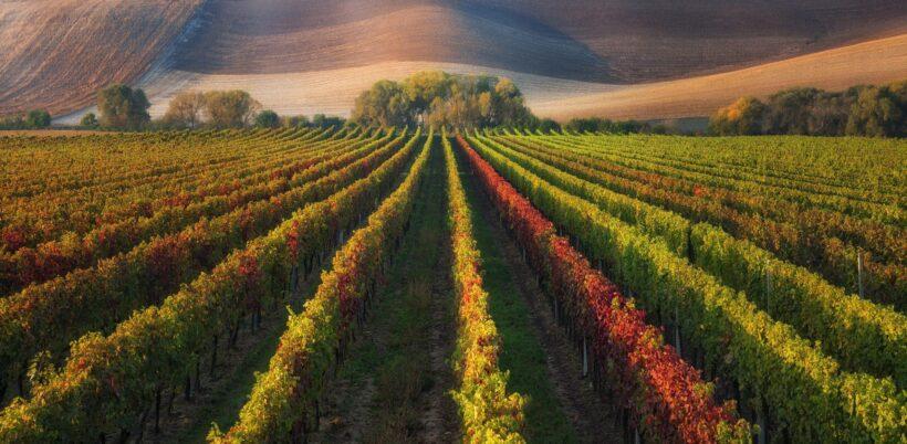 hình nền cánh đồng nho Slovenia tuyệt đẹp cho desktop
