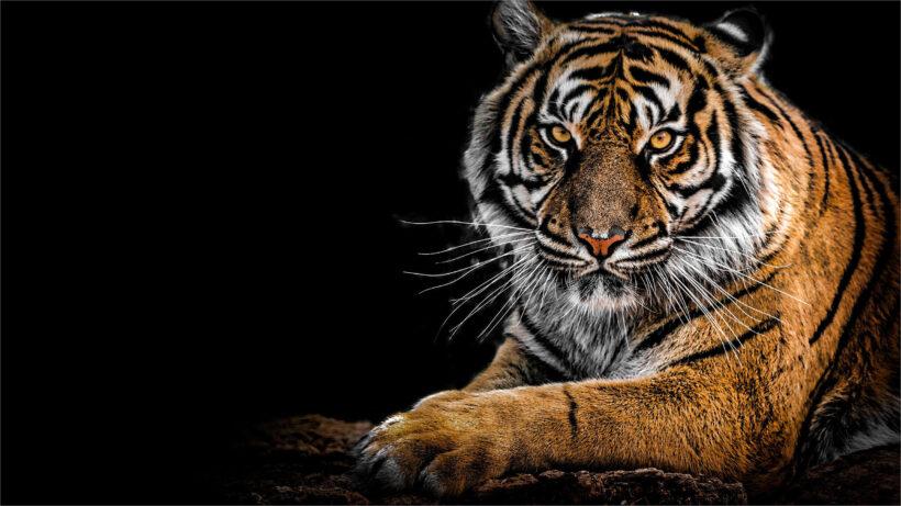 hình nền con hổ tuyệt đẹp
