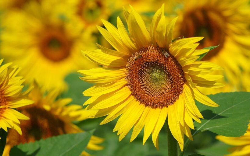 hình nền hoa đẹp về bông hoa hướng dương