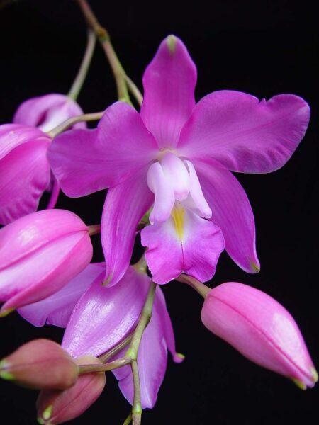 Hình nền hoa phong lan tím đẹp nhất