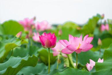 hình nền hoa sen