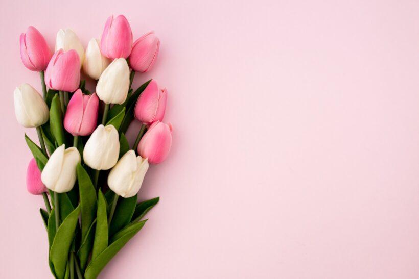 hình nền màu hồng dễ thương về hoa tulip
