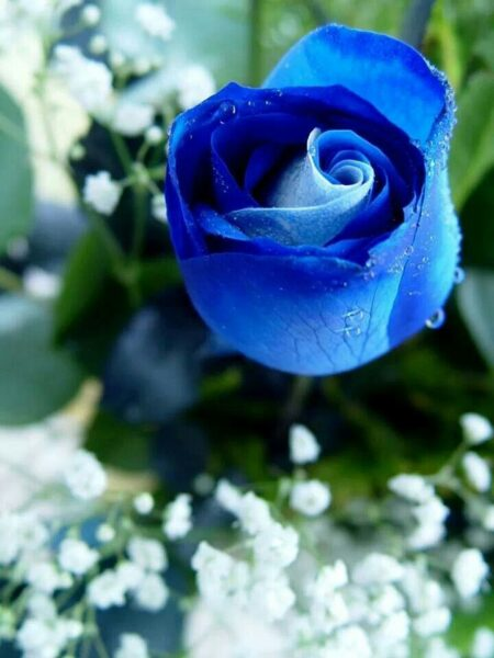 Hoa hồng xanh đẹp mê ly