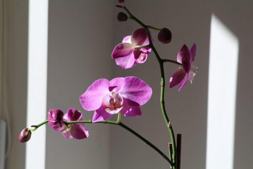 Hoa phong lan đẹp dưới ánh nắng khung cửa
