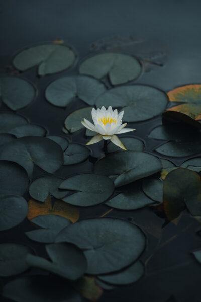 Hoa sen xanh đẹp làm hình nền