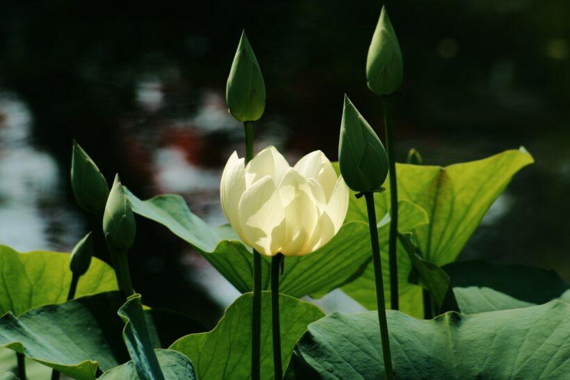 Hoa sen xanh đẹp mộc mạc, bình dị