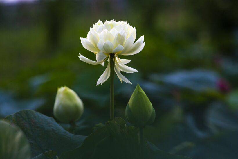 Hoa sen xanh đẹp mộc mạc bình dị