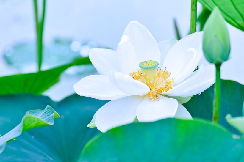 Hoa sen xanh nở rực