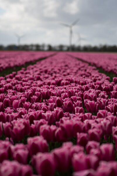 Ngất ngây với hình ảnh hoa tulip tím