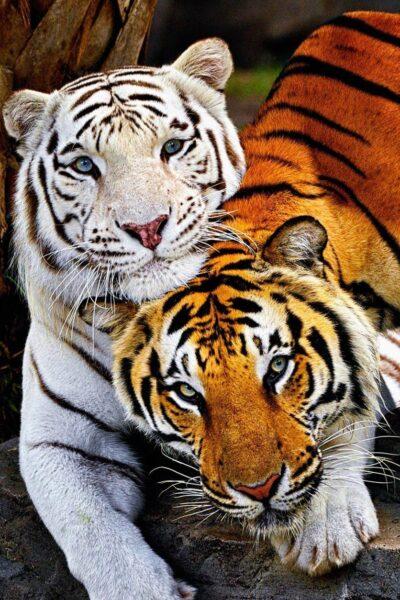 những ảnh nền con hổ đẹp nhất