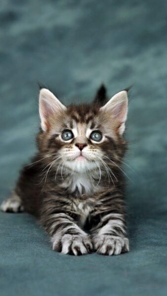 tải hình nền ảnh mèo cute