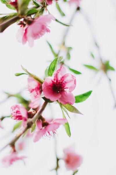Ý nghĩa của hoa đào ngày tết