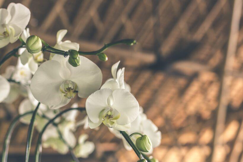 Ý nghĩa của hoa phong lan