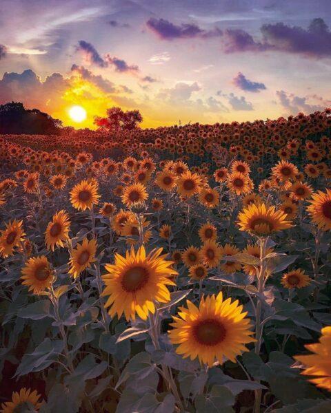 ảnh thiên nhiên buồn về vườn hoa hướng dương dưới hoàng hôn