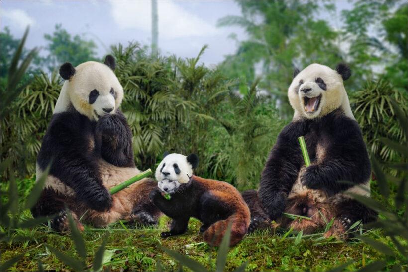 gia đình gấu - hình ảnh gấu trúc cute