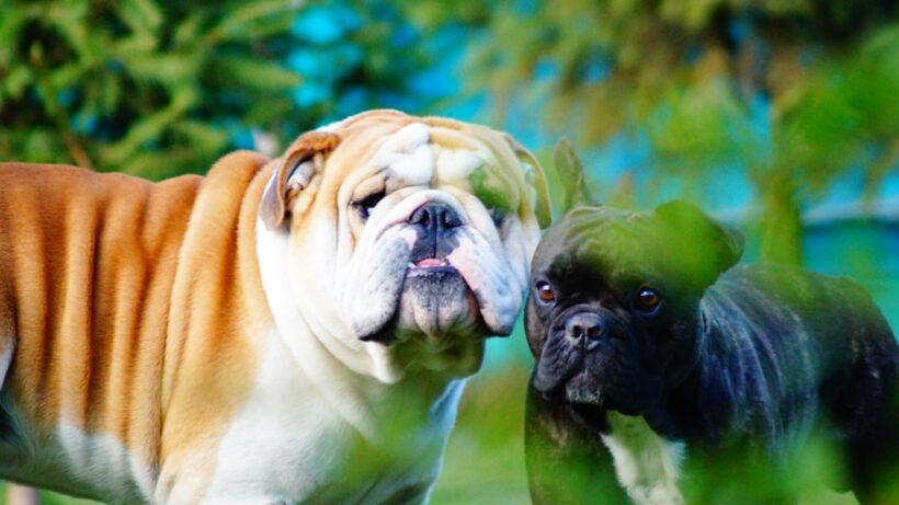 hình ảnh 2 chó pitbull