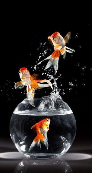 hình ảnh bể cá vàng