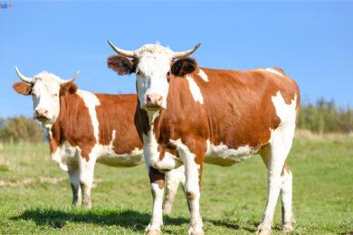hình ảnh bò