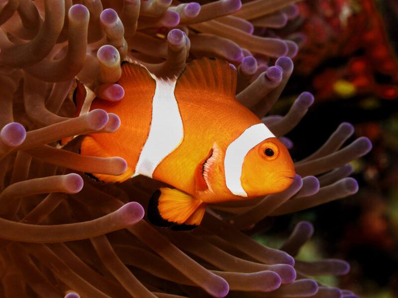 hình ảnh cá hề đẹp nhất bên san hô
