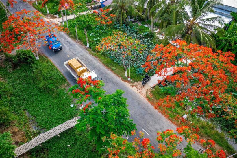 Hình ảnh cây phượng chụp từ trên cao