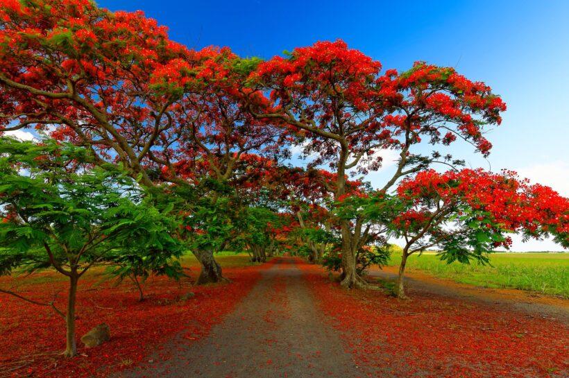 Hình ảnh cây phượng nở rộ rực rỡ cả một khoảng trời