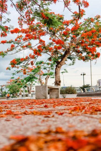 Hình ảnh cây phượng với những cánh hoa rơi bên vệ đường