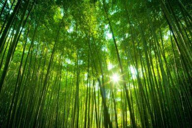 Hình ảnh cây tre và ánh nắng