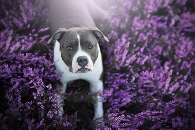 hình ảnh chó pitbull trong vườn hoa