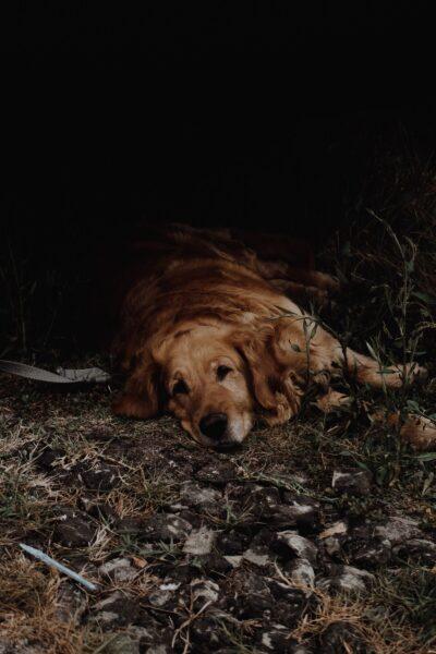 hình ảnh chú chó nằm buồn một mình