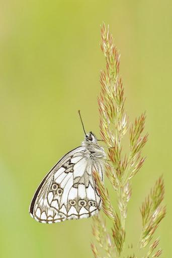 hình ảnh con bướm đậu trên cây cỏ lau