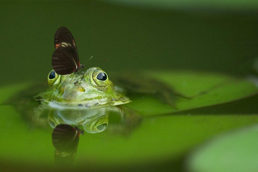 hình ảnh con bướm và chú ếch